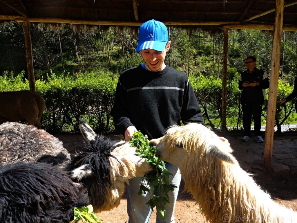 Llamas y alpacas