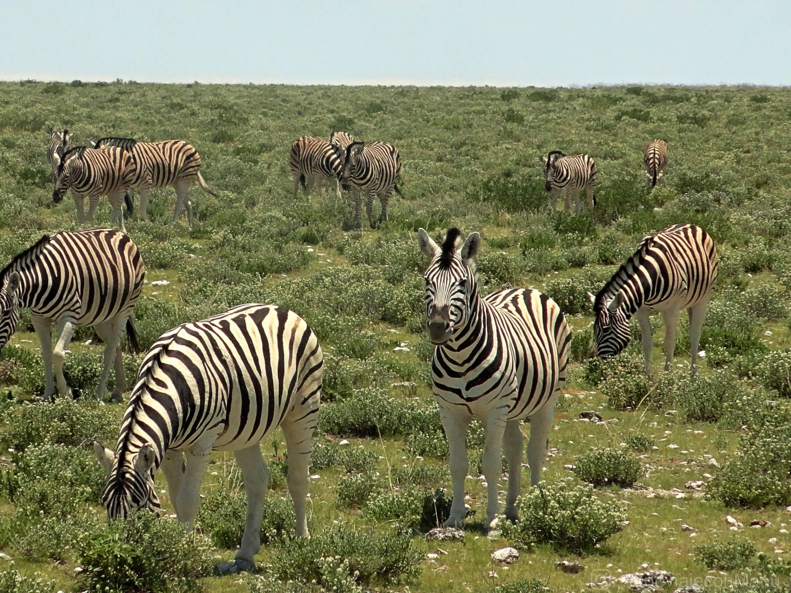 Cebras namibias